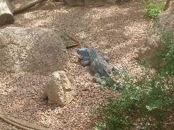 Indianapolis_Zoo_Iguana.JPG