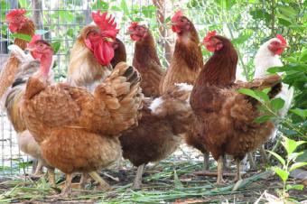 https://cf.ltkcdn.net/travel/images/slide/123487-849x565-Chickens_Galore.jpg