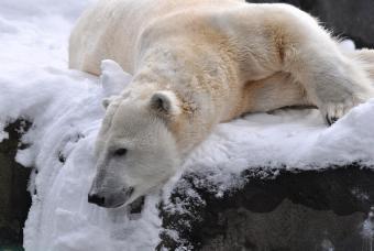 Polar Bear at Seneca Park Zoo photo by Marie Kraus