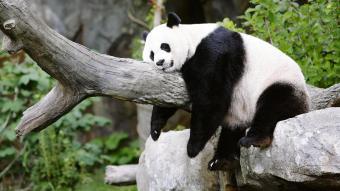 Panda Sleeping On Branch At Zoo