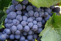Winegrape_istockphoto_calgrape.jpg