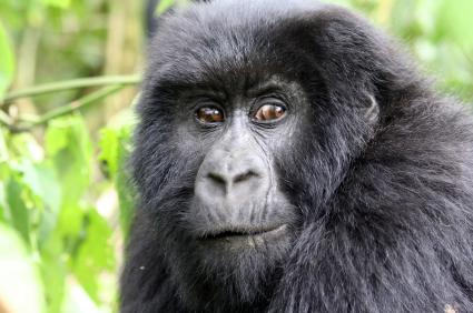 CongoGorilla.jpg