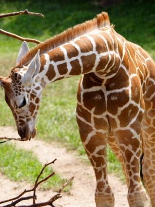 Giraffe at the Indianapolis Zoo