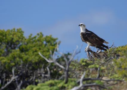 Osprey on Caicos Islands