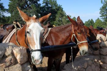 Mules at Grand Canyon National Park; © Chee-onn Leong | Dreamstime.com