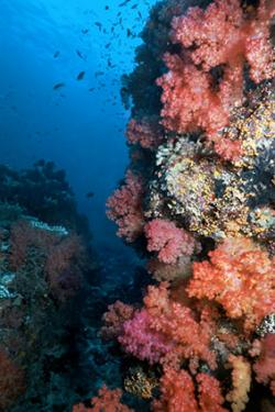 Fijian soft coral