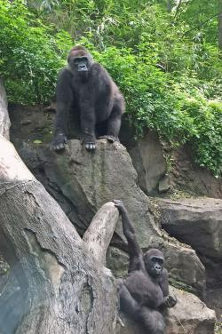 Two gorillas at Bronx Zoo