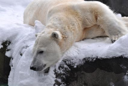 Polar Bear at Seneca Park Zoo photo by Marie Kraus