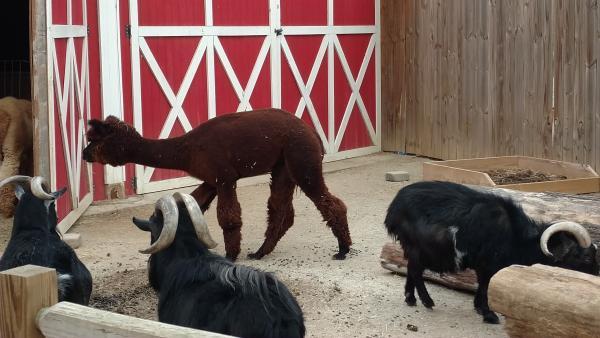 Llama and goats - Chattanooga Zoo