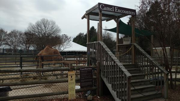 Camel Chattanooga Zoo