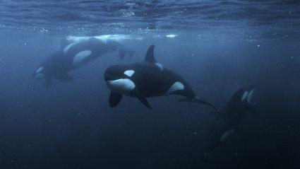 Orcas, underwater photography, Norway
