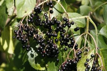 Elderberry Juice Benefits & Guide to Using It