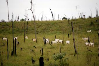 Cattle grazing in deforested Amazon