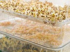 Sprouting amaranth.