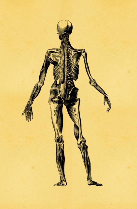 https://cf.ltkcdn.net/vitamins/images/slide/124123-557x850-Skeleton0109.jpg