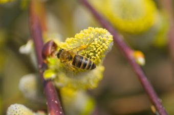 https://cf.ltkcdn.net/vitamins/images/slide/124171-850x565-01bee_pollen.jpg