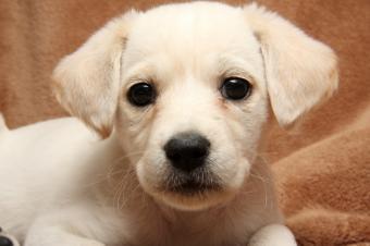 https://cf.ltkcdn.net/vitamins/images/slide/124229-849x565-9-lab-puppy.jpg