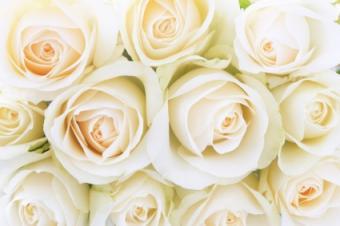 Blush roses background for wedding stationary