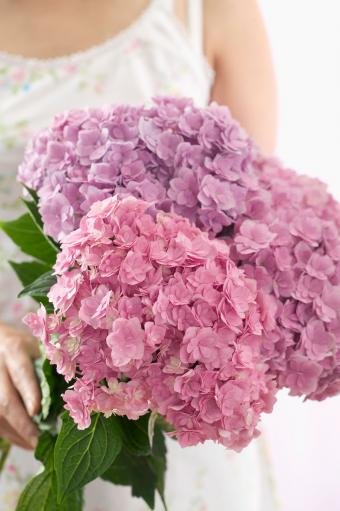 Mixed colors of hydrangea bouquet