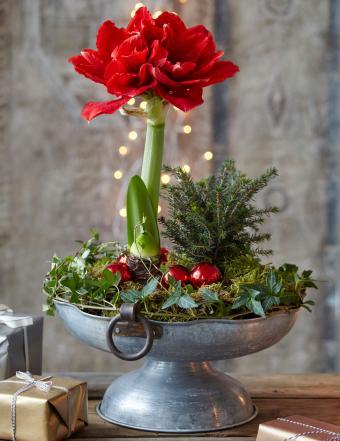 Amaryllis in a pot