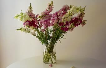 Vase of snapdragons