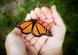 Photo of a butterfly being released by hands