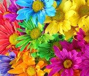 Rainbow daisies