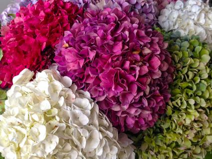 Bouquets of various colors of hydrangea