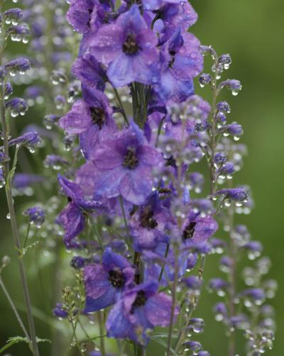 Larkspur blossoms