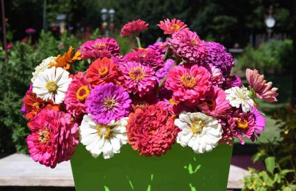 beautiful multi colored zinnias