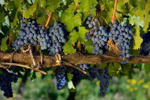 https://cf.ltkcdn.net/wine/images/slide/112382-510x339-Basic-Wine-Tannins.jpg