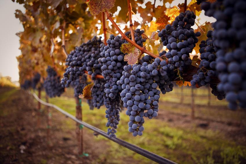 https://cf.ltkcdn.net/wine/images/slide/250464-850x567-black-skinned-grapes.jpg