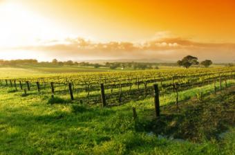 Sunrise over a vineyard