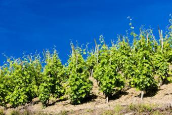 Grand cru vineyard, Cote Rotie, Rhone-Alpes, France; © Richard Semik | Dreamstime.com