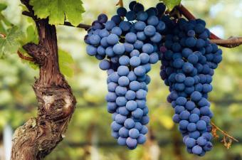 Barolo Red Wine Characteristics and Recommendations