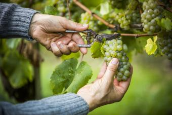 Clipping grapes from the vine