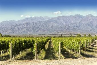 Malbec vineyard in Argentina