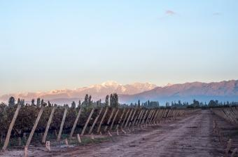 Early morning in the vineyards. Argentine province of Mendoza