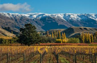 Vineyard near Cromwell