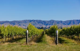 Vineyards in Rapaura Road