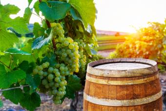 Vineyards with old wooden barrel on row vine green grape