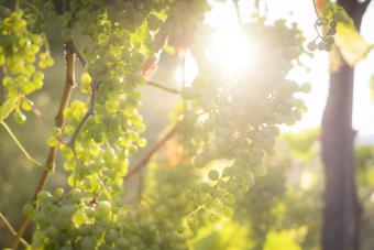Prosecco grapes on the vine