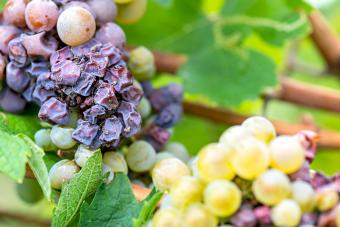 Noble rot of a wine grape, grapes with mold