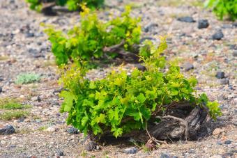 Spiral grape vines in Santorini