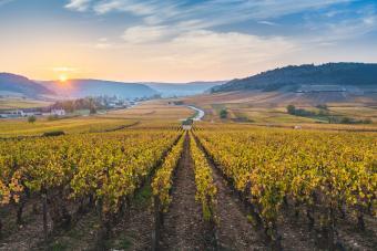 Vineyards in Cote d'Or