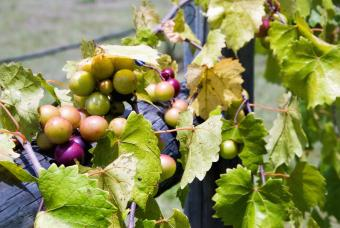 Muscadine grapes from North America