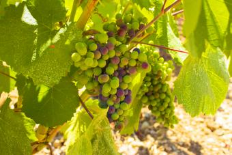Moscato grapes on the vine