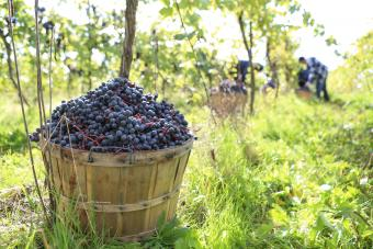 The Truth About Organic Wine Classifications