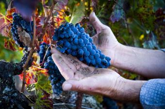 Hand harvesting wine grapes