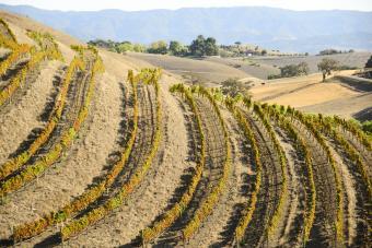 vineyards in Los Olivos